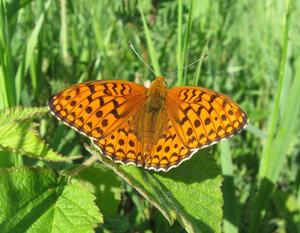 s:дневные бабочки,c:кирпично-красные,c:c темными пятнами