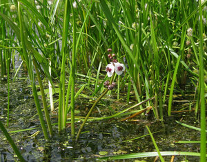 Стрелолист обыкновенный (Sagittaria sagittifolia)Альбом: цветы и другое