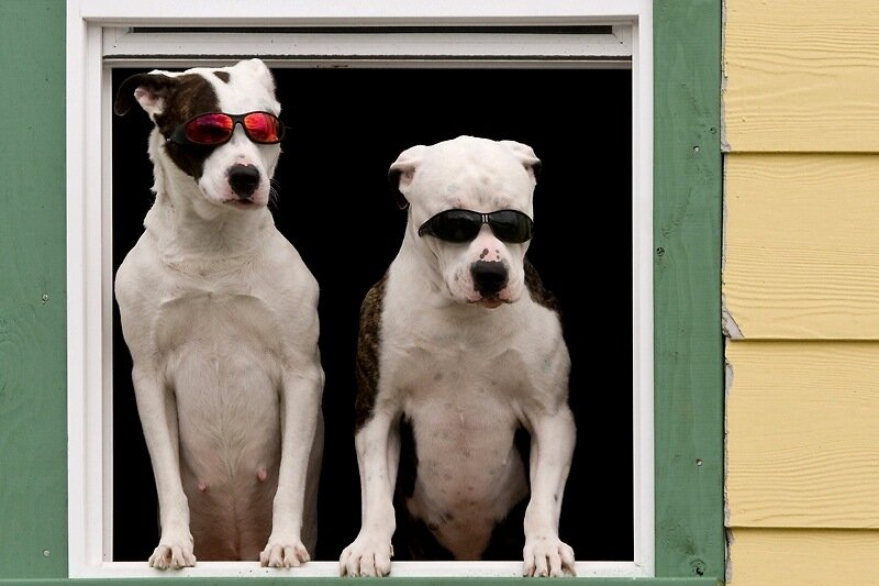 USA; Alaska; Ketchikan; dogs with sunglasses in window - Cedit as Don Paulson Photography