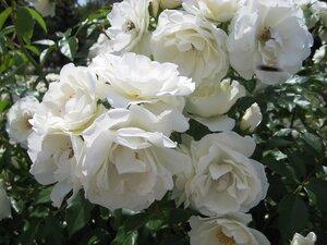 Белые розы...