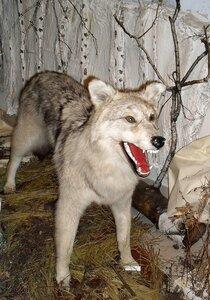 Собака - приручённый волк. Волк - одичавшая собака