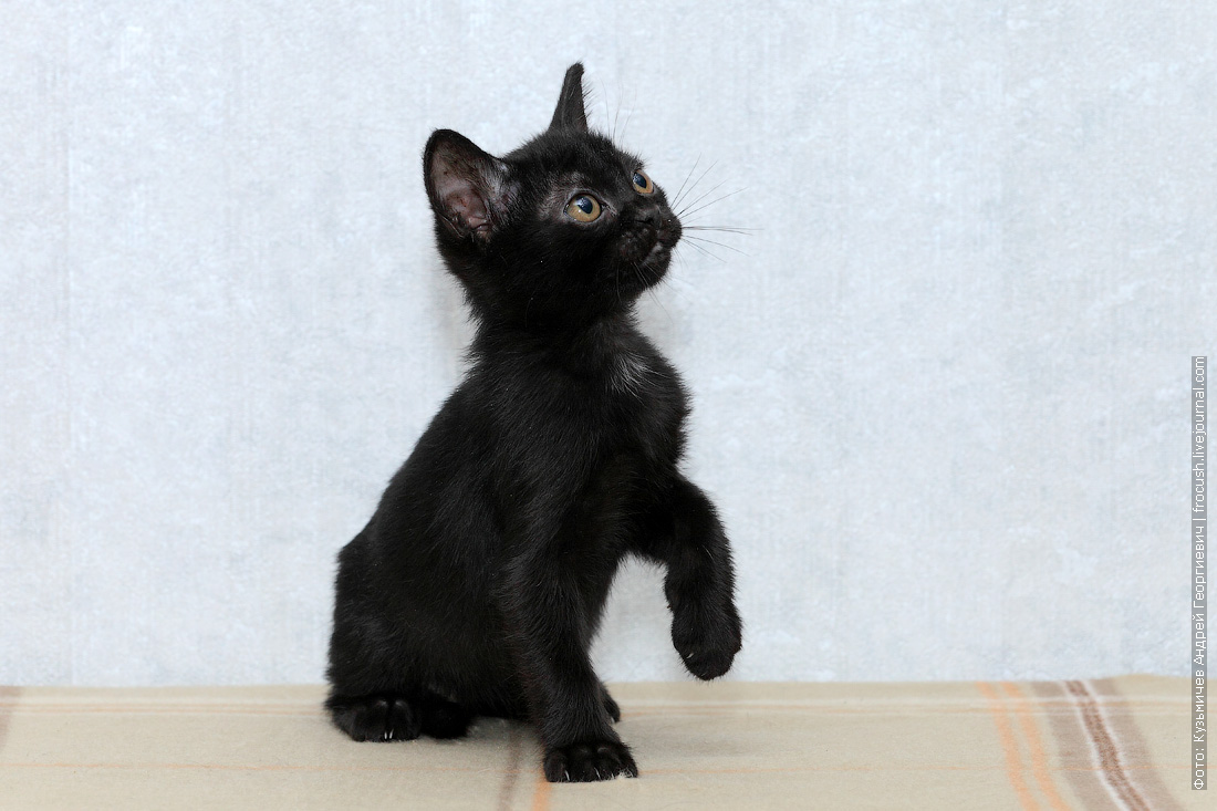 из питомника в москве котенок бомбейской кошки