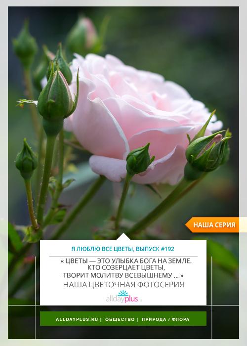 Я люблю все цветы, выпуск 192 | Роза - «Королева цветов».