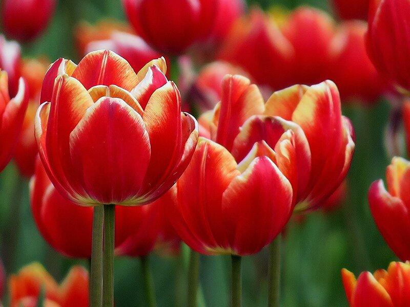 Горящие тюльпаны