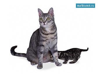 Калифорнийская сияющая, калифорнийская сияющая порода кошки