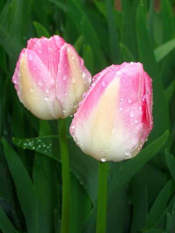 Весна,с.Остров, подворье,райский садик,первоцветы