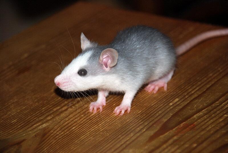 как выглядит белая декоративная крыса фото