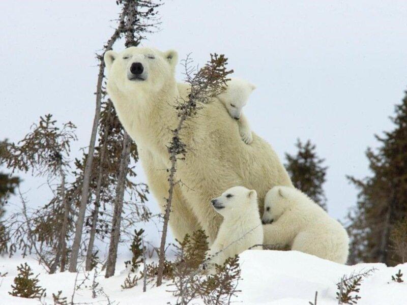 Белая медведица с медвежатами. Обсуждение на LiveInternet - Российский Сервис Онлайн-Дневников