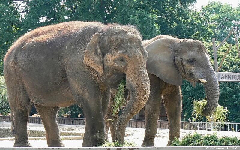 фото слон азиатский