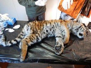 В Хабаровском крае нашли мёртвого тигрёнка