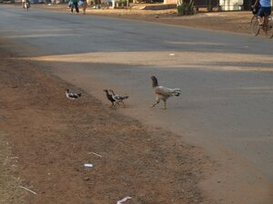Общипанные курицы - полноправные участники дорожного движения