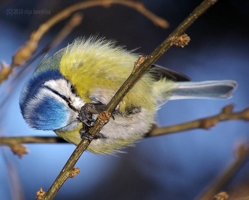 Делай раз (берём семечку)/Лазоревка - Parus caeruleus