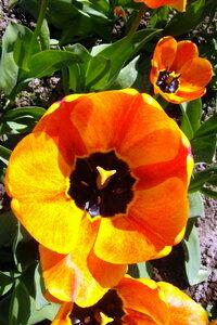 тюльпан апельдорн элит фото