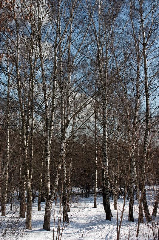 Березовая роща и зима