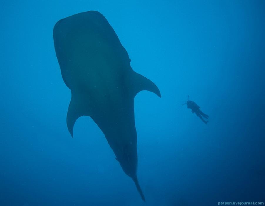 Китовая акула и дайвер,