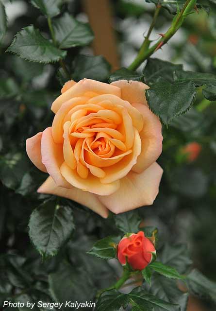 Rosa Susie (2).JPG