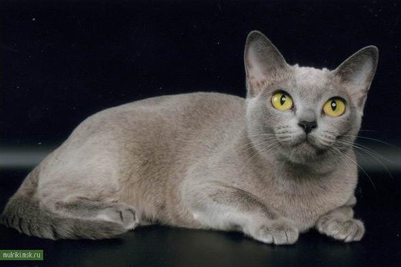 Кошка бурманская кошка порода кошки