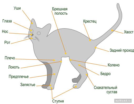 Анатомия кошки