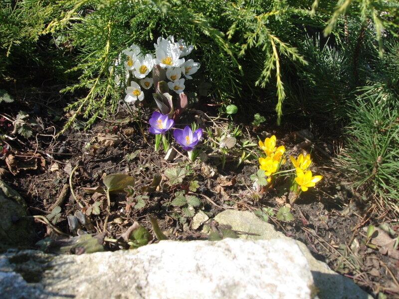 Цветы России,с.Остров,подворье,первоцветы