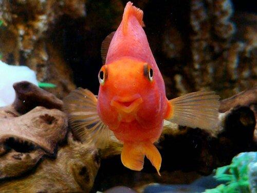 Сколько живут рыбки попугаи в аквариуме