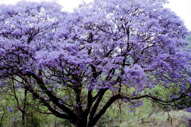 Фиалковое дерево или Жакаранда мимозолистная