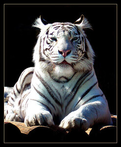 Metallo Tiger - New Year - Losar!!!