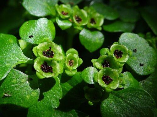Селезёночник очерёднолистный (Chrysosplenium alternifolium) Автор фото: Привалова Марина