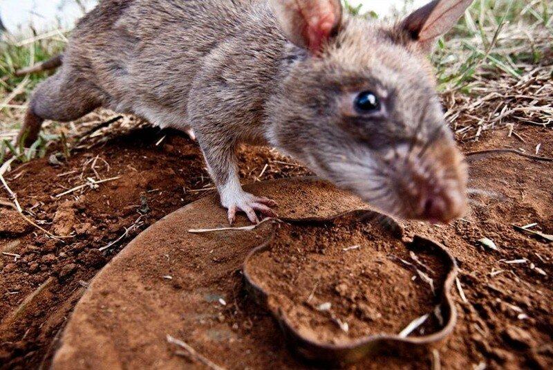 Как крысы-саперы спасают Мозамбик