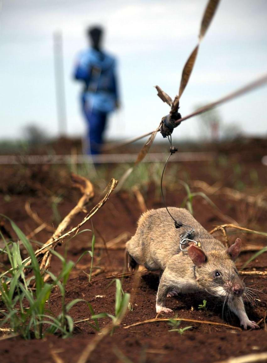 Гамбийские крысы, как лучшие саперы и вынюхиватели противопехотных мин (13)
