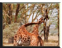 Кения. Масаи Мара. Фото cabman237 - Depositphotos