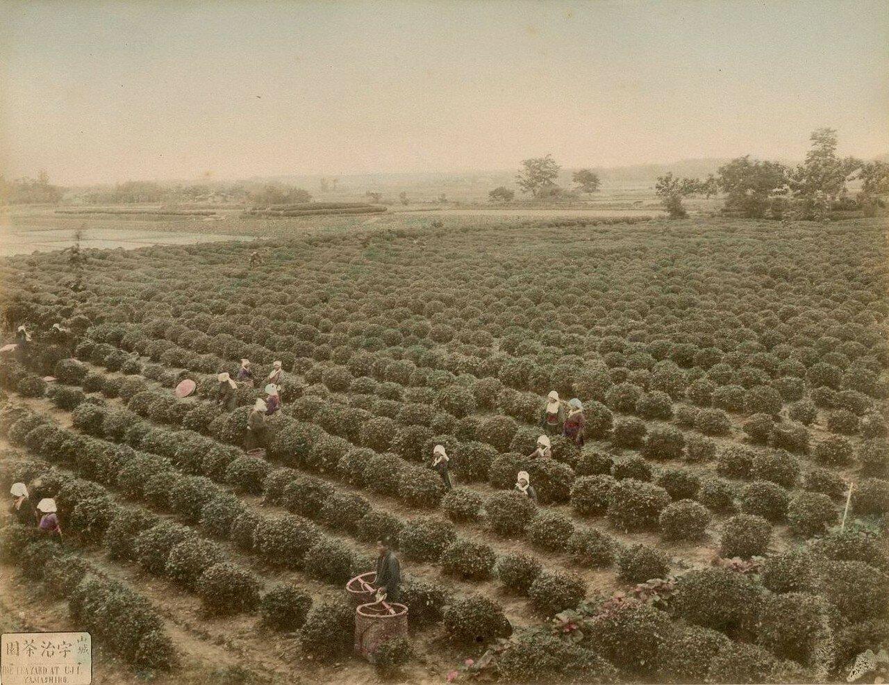 Чайная плантация в Удзи, Ямаширо