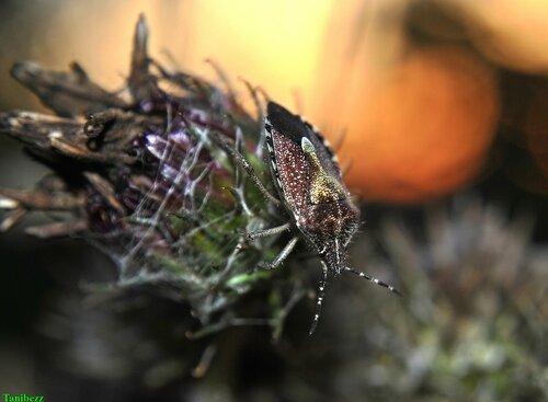 Щитник (клоп) ягодный / Dolycoris baccarum