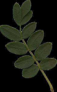 листья акации