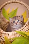 Калифорния - британский котенок шоколадный пятнистый питомника Elite British