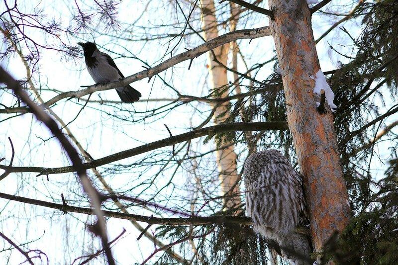 Бородатая неясыть (Strix nebulosa) и ворона, пытающаяся её прогнать со своей территории
