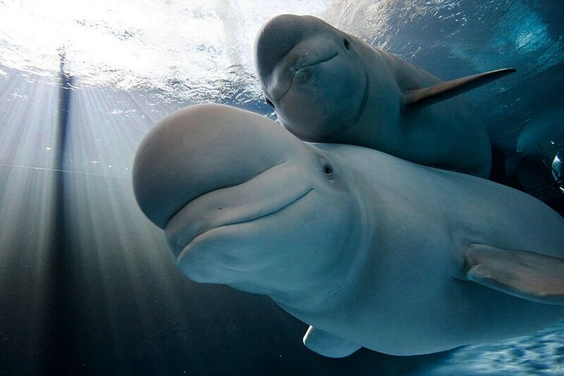 Белуха со своим детёнышем в аквариуме в Чикаго, штат Иллинойс, США.