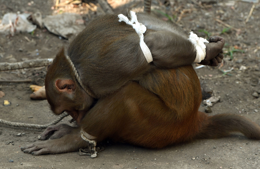 A captured monkey tries to untie his legs at a residential colony in Mumbai on February 5, 2016. The