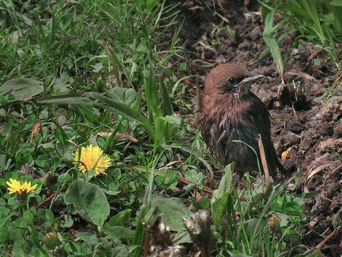 Обыкновенный скворец (Sturnus vulgaris) Автор: Юрий Семенов