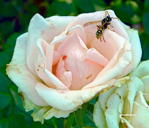 Роза и оса