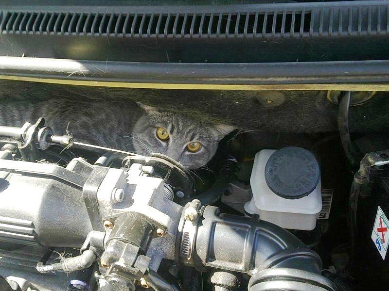 Осторожно, кошки могут быть под капотом вашего авто