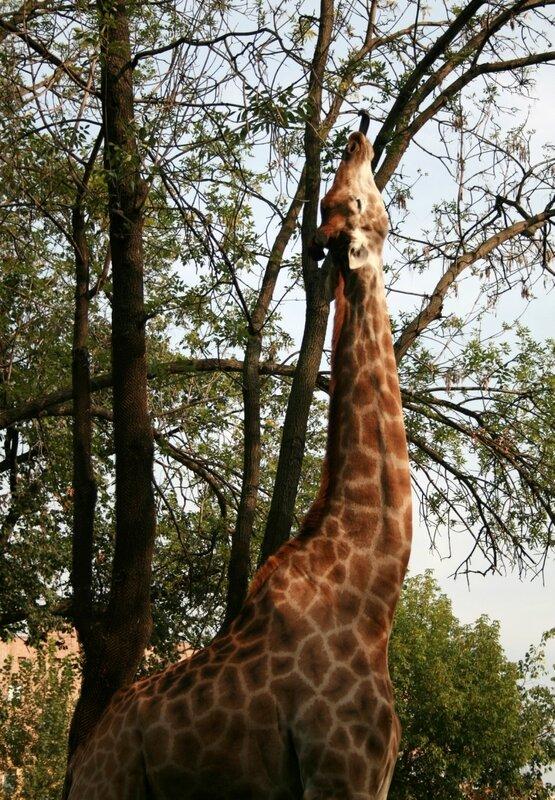 собрали жираф на дереве картинки для поздравления обычно