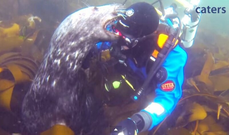 Тюлени и человек - подводная дружба