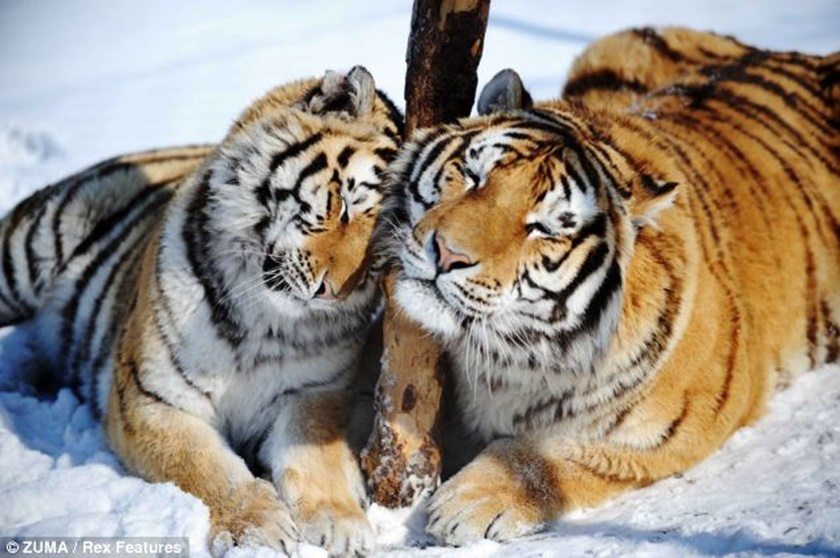 Стая амурских тигров расслабляется после сытного обеда 0 141aed 4c90f8b9 orig