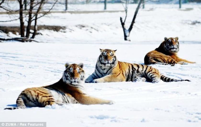 Стая амурских тигров расслабляется после сытного обеда 0 141aef 458050c0 orig