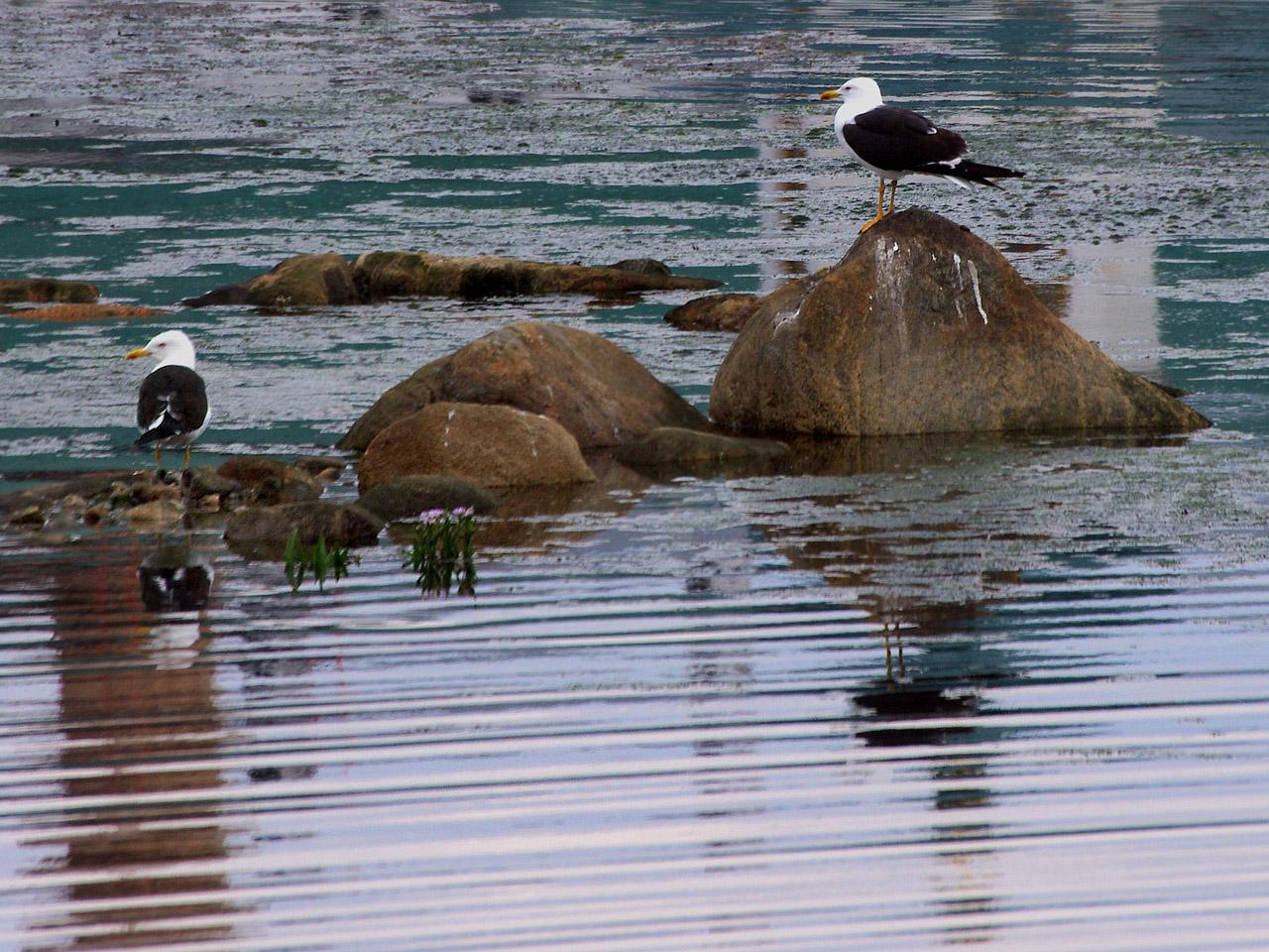 Чайка-клуша (Larus fuscus). Эти чайки сидят на камнях мелководья в бухте Благополучия, рядом с Соловецким монастырем. Лапы у клуш ярко желтые, что отличает их от морских чаек с бледными ногами. На переднем плане видны цветы астры солончаковой (морской), растущие прямо в воде Автор фото: Юрий Семенов