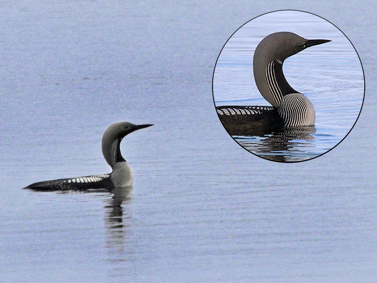Чернозобая гагара (Gavia arctica). Автор фото: Юрий Семенов