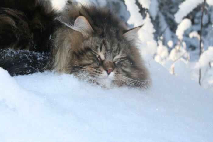 Потрясающий сибирский кот