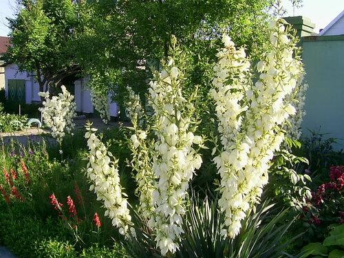 Цветы многолетние бордюрные цветы