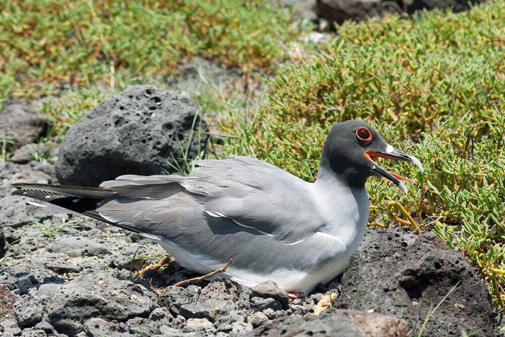 Галапагосская чайка (Creagrus furcatus)