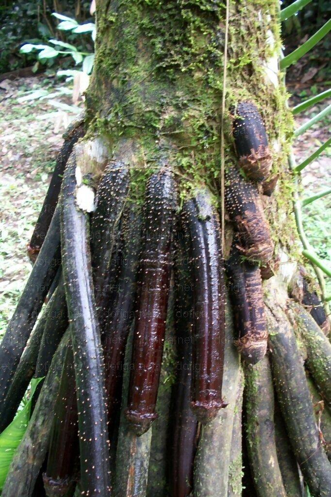 Самое пошлое дерево в мире